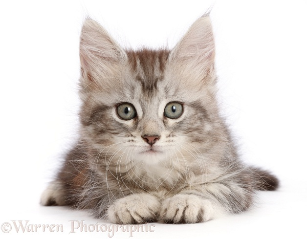 Silver tabby kitten, Freya, 7 weeks old, white background