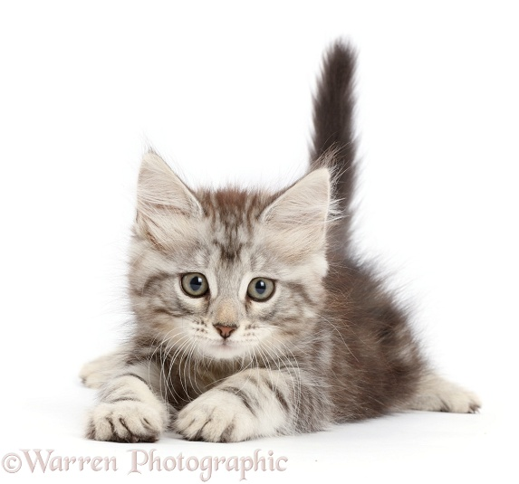 Silver tabby kitten, Freya, 8 weeks old, white background