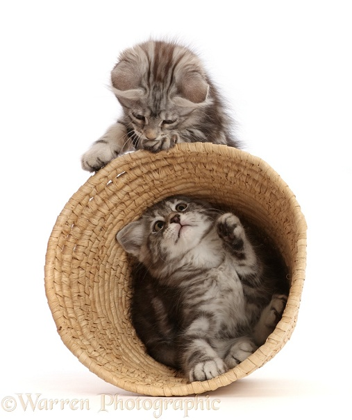 Silver tabby kittens, Freya and Blaze, 9 weeks old, playing with a wicker basket, white background