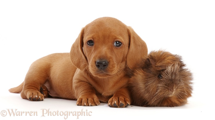 Red Dachshund puppy, 6 weeks old, and Guinea pig, white background