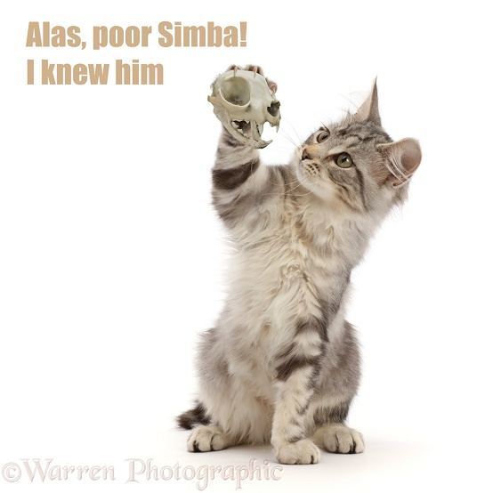 "Shakespurr cat - Silver tabby kitten, Freya, 3 months old, with cat skull, acting in Hamlet - ""Alas Poor Simba, I knew Him"", white background"