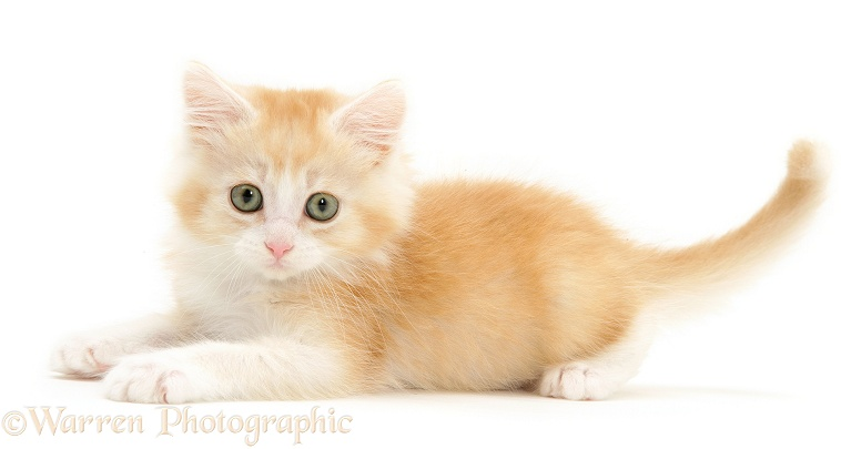 Playful ginger Maine Coon kitten, white background
