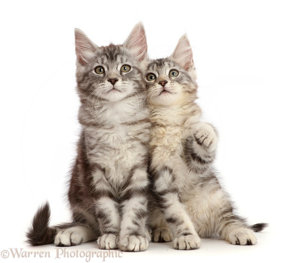 Silver tabby kittens, Freya and Blaze, 10 weeks old, white background