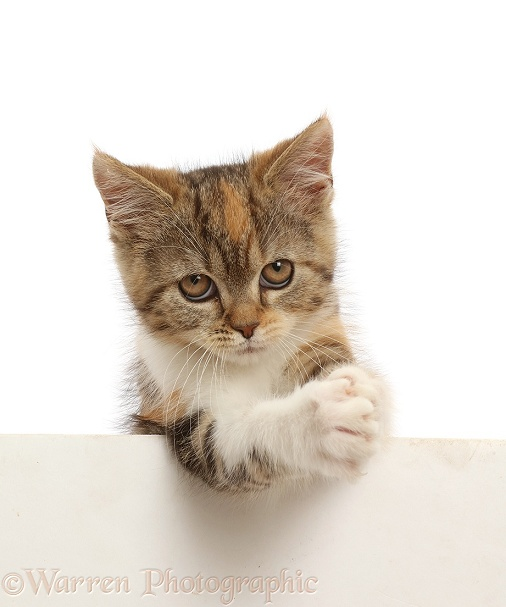 Tortoiseshell-tabby kitten, 10 weeks old, paws over, clasping, white background