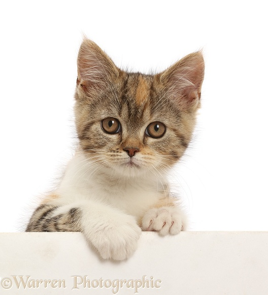 Tortoiseshell-tabby kitten, 10 weeks old, paws over, white background