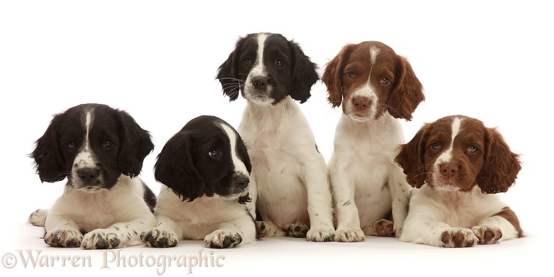 Five working English Springer Spaniel puppies, 7 weeks old, white background