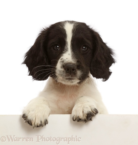 Working English Springer Spaniel puppy, 7 weeks old, paws over, white background