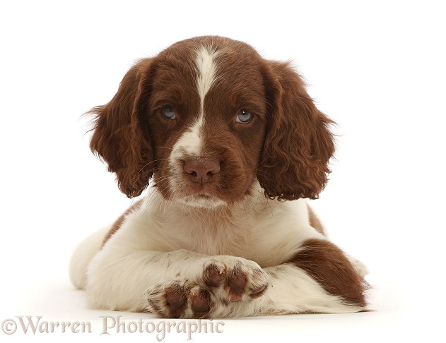 Working English Springer Spaniel puppy, 7 weeks old, lying with head up and crossed paws, white background