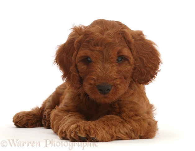 Australian Labradoodle puppy, white background