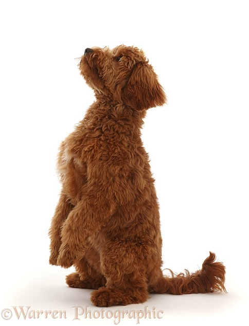 Australian Labradoodle begging, white background