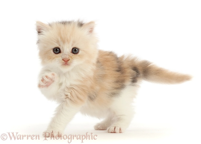 Cream tortoiseshell kitten, 5 weeks old, pointing a paw, white background