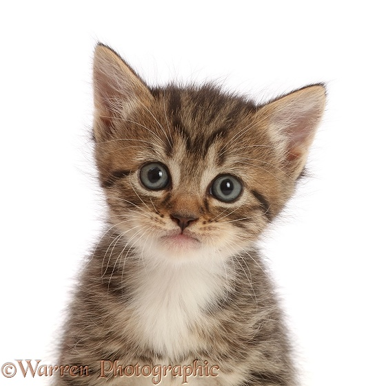 Tabby kitten, 4 weeks old, with big eyes, white background