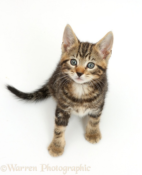 Tabby kitten, Picasso, 7 weeks old, sitting and looking up, white background