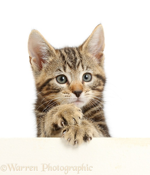 Tabby kitten, Picasso, 8 weeks old, paws over, white background