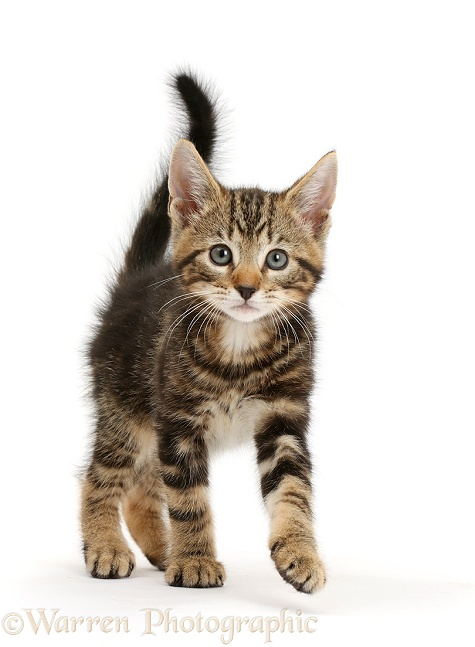 Tabby kitten, Picasso, 8 weeks old, striding out, white background