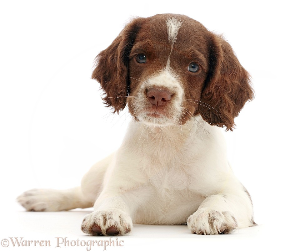 Working English Springer Spaniel puppy, 7 weeks old, lying with head up, white background