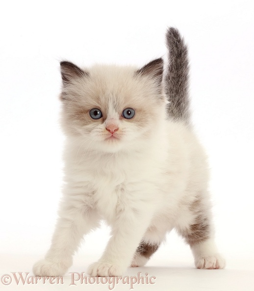 Persian-cross kitten, 5 weeks old, white background