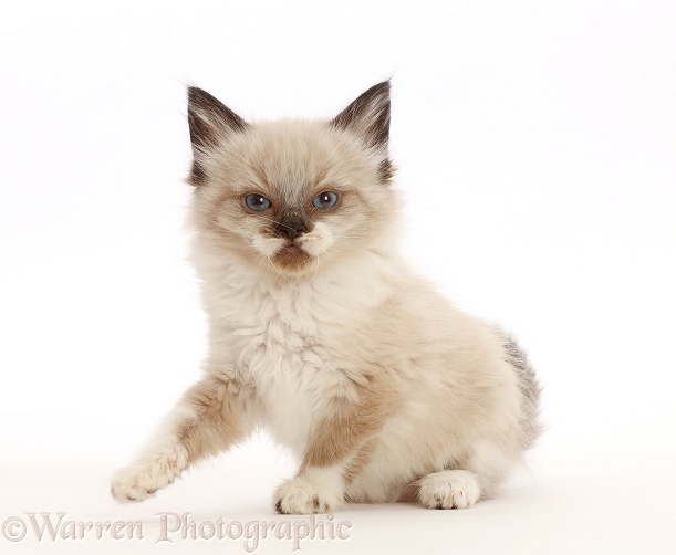 Ragdoll-cross kitten, 6 weeks old, white background