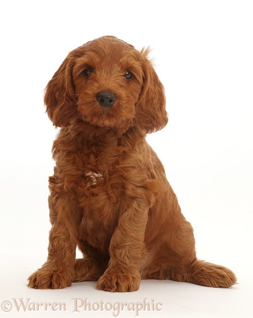 Dog: Australian Labradoodle puppy photo WP46301