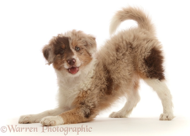 Red merle Cadoodle puppy, 10 weeks old, in play-bow, white background
