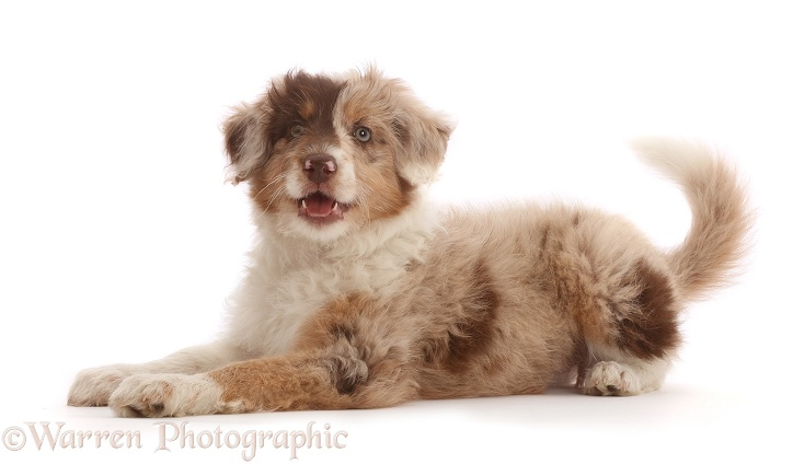 Red merle Cadoodle puppy, 10 weeks old, white background