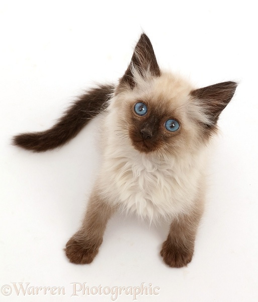 Ragdoll-cross kitten, 8 weeks old, sitting and looking up, white background