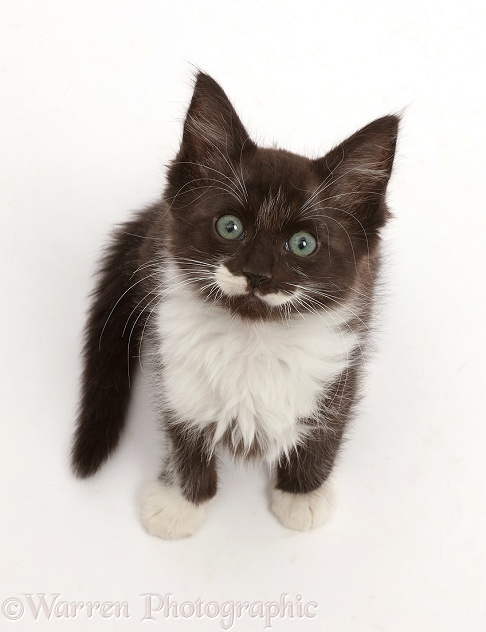 Black-and-white kitten, 8 weeks old, sitting and looking up, white background