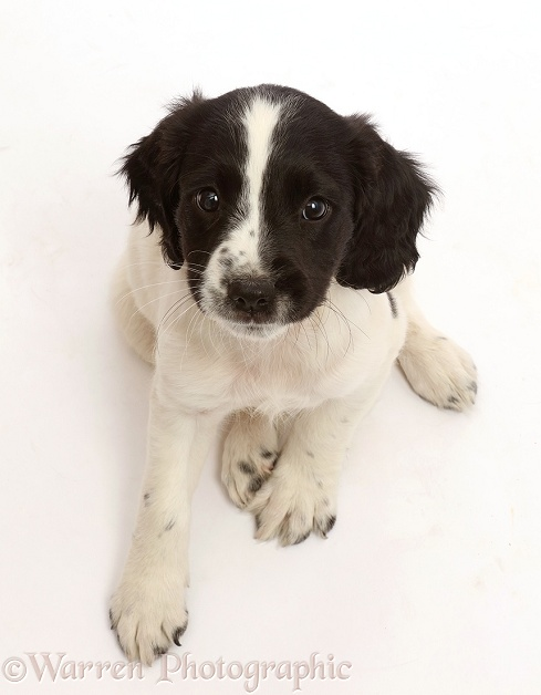 Working English Springer Spaniel puppy, 7 weeks old, white background