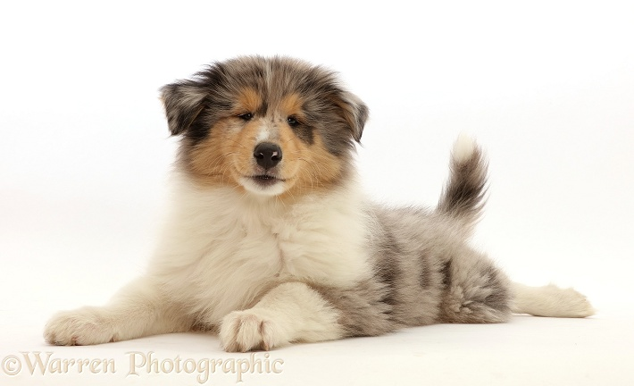 Rough Collie puppy, lying spread out and head up, white background