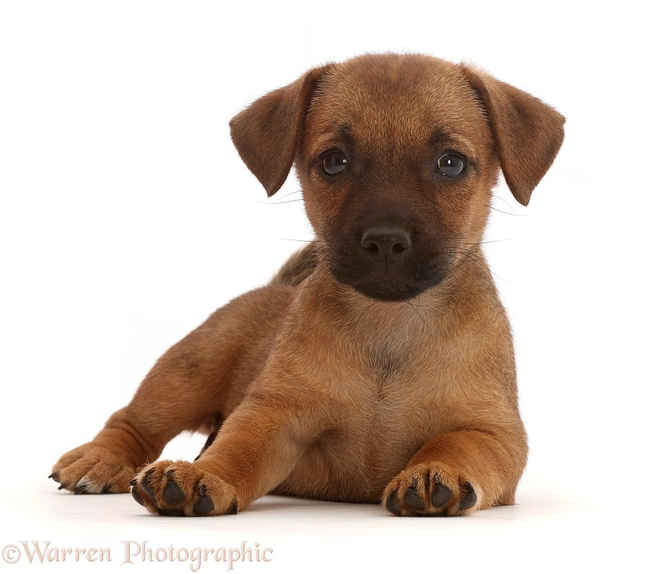 Dog: Brown Jack Russell x Border Terrier puppy photo WP46361