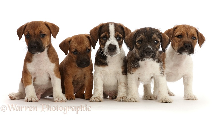 Five Jack Russell x Border Terrier puppies, white background