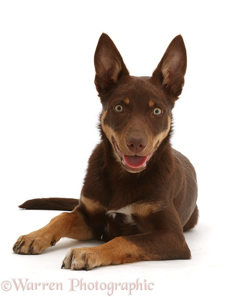 Brown-and-sable Australian Kelpie puppy, 4 months old, white background