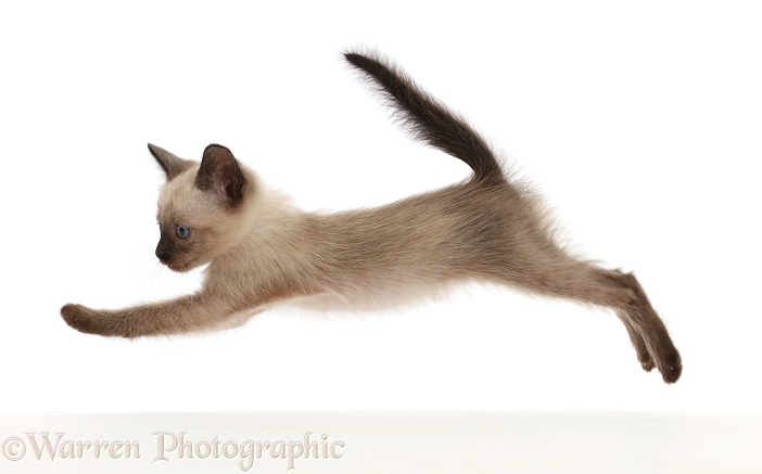 Siamese x Ragdoll kitten, 7 weeks old, leaping across, white background