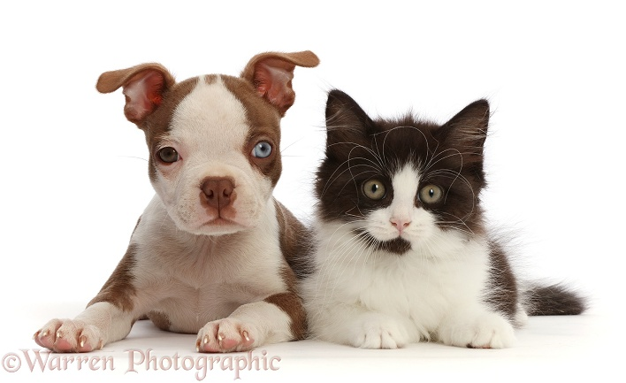 Brown-and-white Boston Terrier pup, 10 weeks old, with Black-and-white kitten, white background