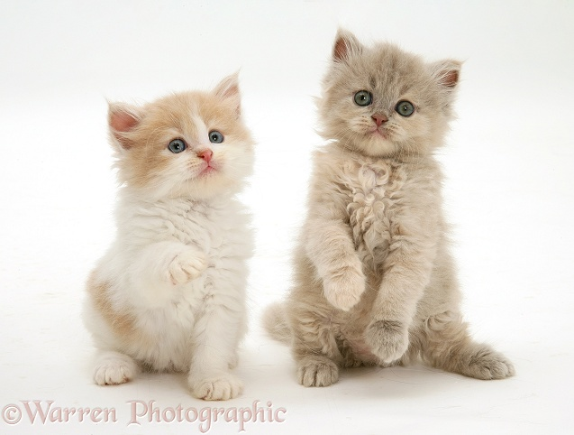 Ginger-and-white and lilac-tortoiseshell Persian-cross kittens, white background