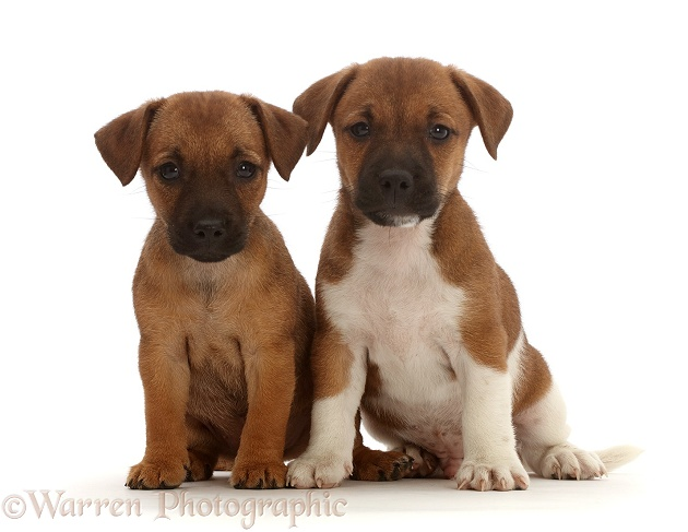 Two Jack Russell x Border Terrier puppies, white background