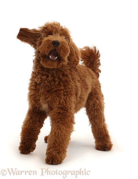Australian Labradoodle, standing and barking, white background