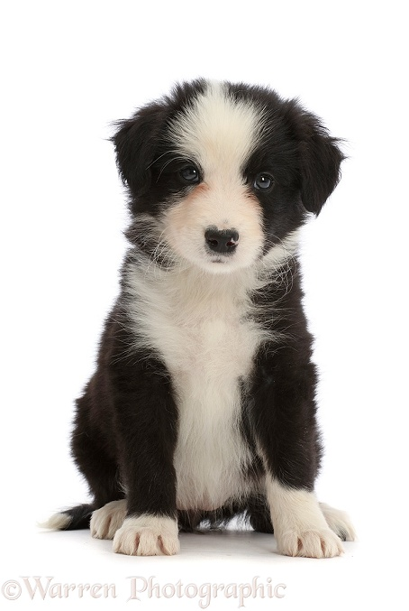 Black-and-white Border Collie puppy, sitting, white background