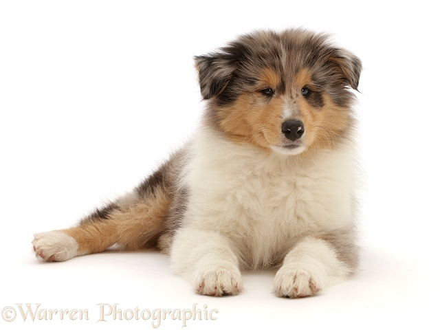 Rough Collie puppy, lying with head up, white background