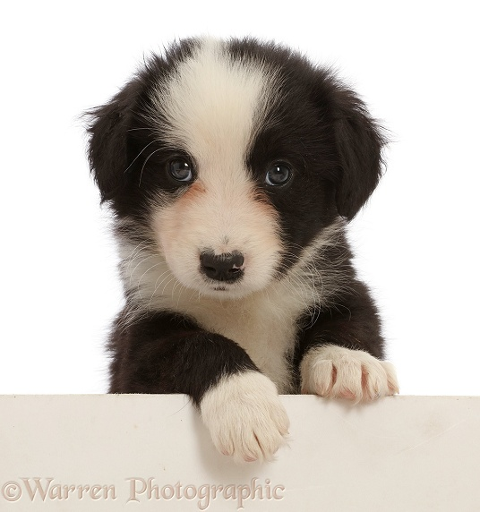 Black-and-white Border Collie puppy, paws over, white background