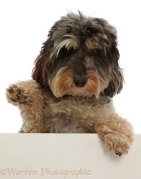 Tricolour Daxie-doodle dog, Dougal, paws over, and waving, white background