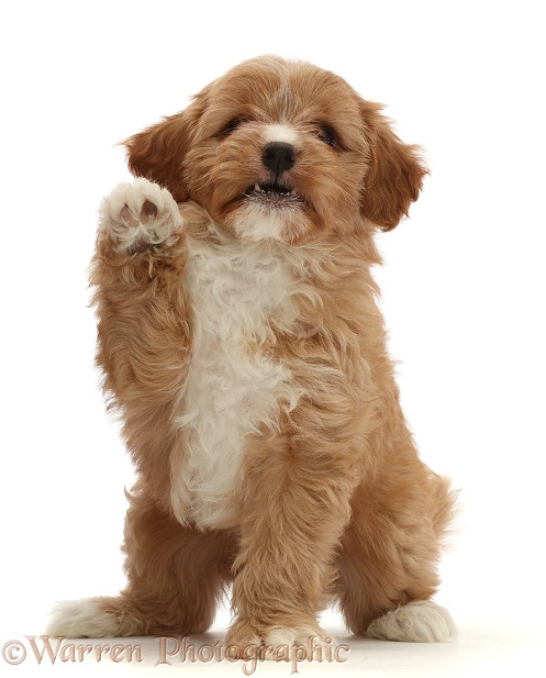 Red Cavapoo dog puppy, 8 weeks old, waving, white background