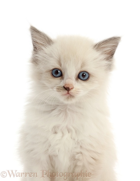 Siamese x Ragdoll kitten, 7 weeks old, white background