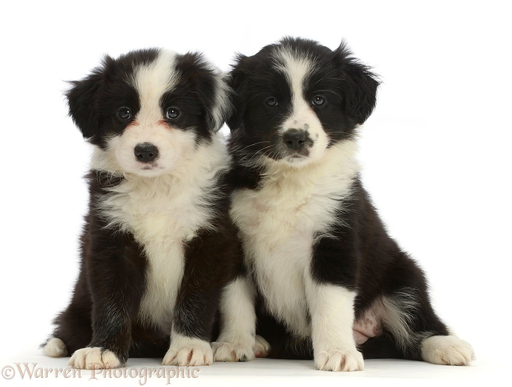 Two Black-and-white Border Collie puppies, sitting, white background