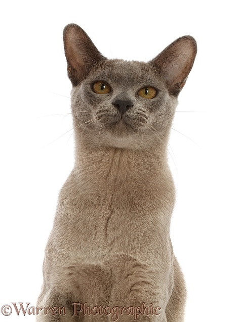 Blue Burmese cat portrait, white background