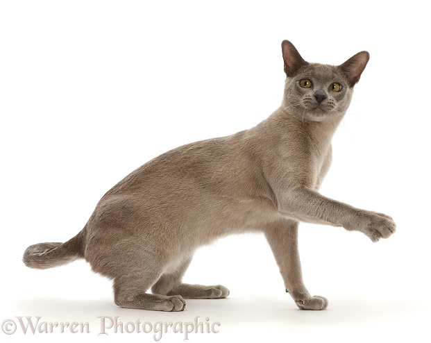 Blue Burmese cat pointing one way and looking back the other, white background