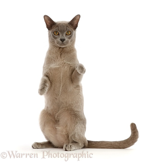 Blue Burmese cat sitting up with paws raised, white background
