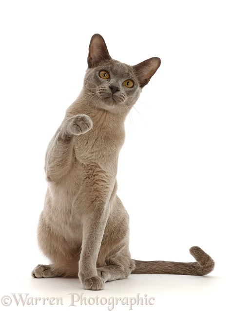 Blue Burmese cat sitting and pointing, white background