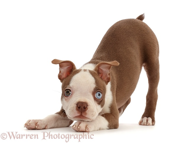 Boston Terrier puppy, Harli, 10 weeks old, in play-bow stance, white background