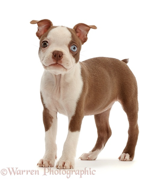 Boston Terrier puppy, Harli, 10 weeks old, standing, white background